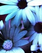 1 Daisy Blues