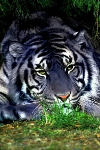 Silver Tiger