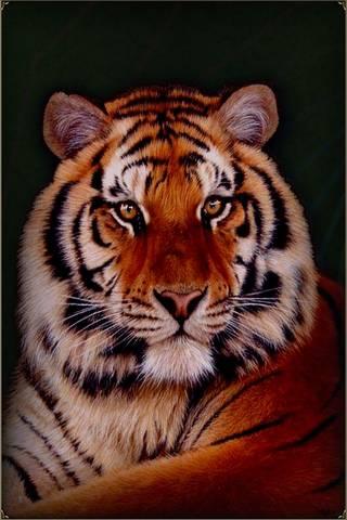 西伯利亚虎