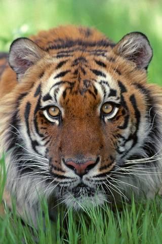 Mắt của con hổ