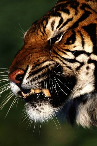 Harimau marah