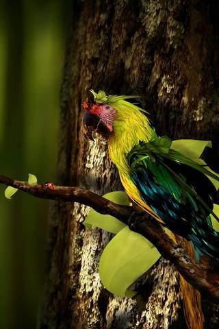 Parrot Twig Beetle
