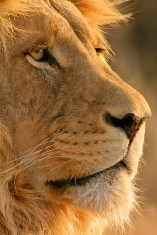 Hd Lion