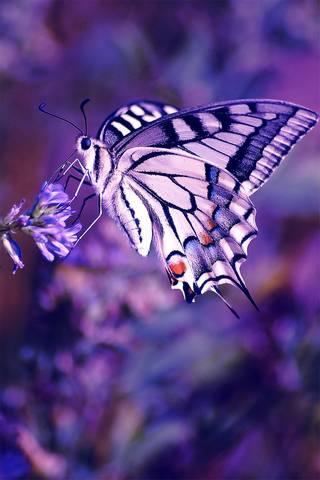 紫色B * tterfly