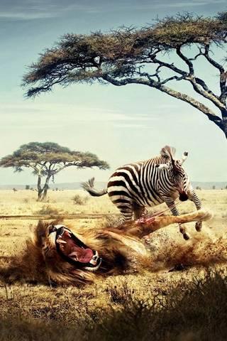 斑马VS狮子