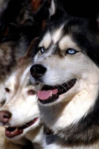 Husky Dogs
