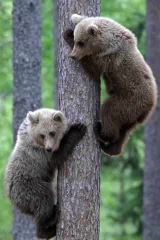 Beruang Cubs