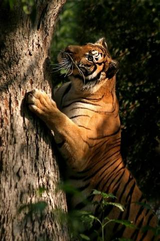 Scratchin Tiger