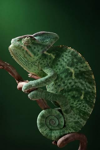 Caméléon vert