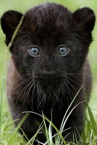 Mini Panther