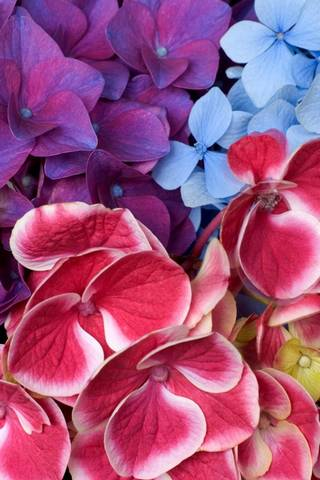 Varied Hydrangeas