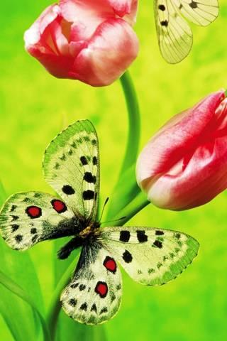 Метелик Тюльпани