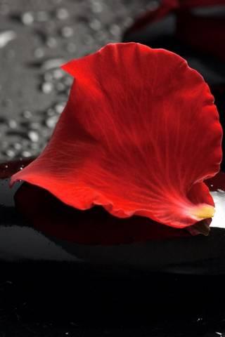 빨간 장미 꽃잎