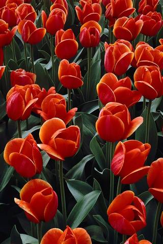 लाल फूल।