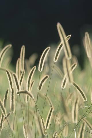 Bristle Gras*